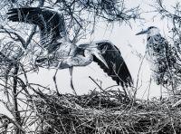 Storks, Camargue