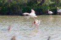 Flamingos, Camargue